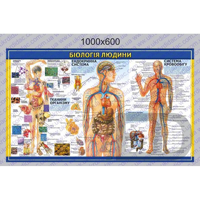 """БДМ2 Плакат """"Біологія людини - Ендокринна система, кровообіг, тканини організму"""" (ламінований на планках 1000*600мм)"""