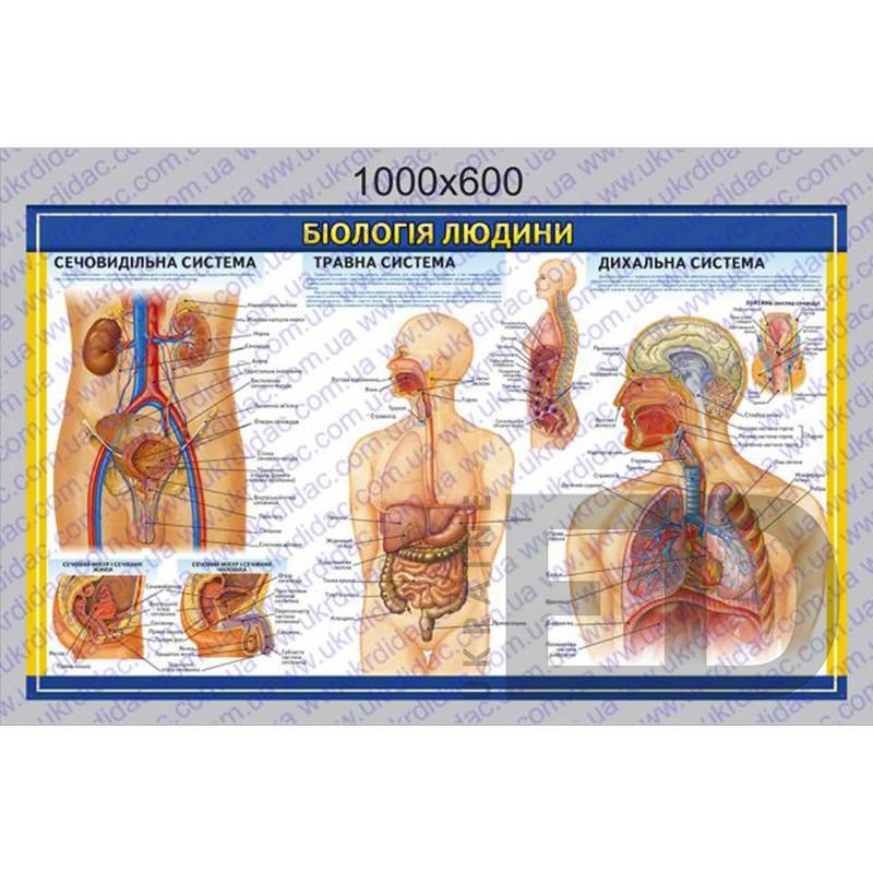 """БДМ3 Плакат """"Біологія людини - Сечовивідна, травна, дихальна система"""" (ламінований на планках 1000*600мм)"""