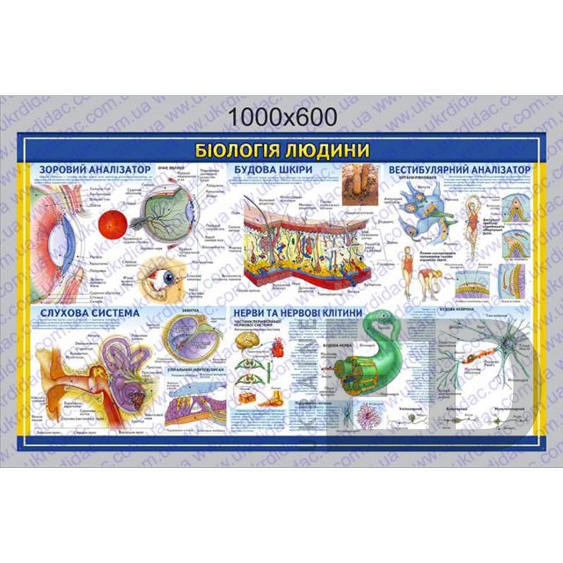 """БДМ4 Плакат """"Біологія людини - Будова шкіри, слухова, зорова, нервова системи та вестибулярний аналізатор"""" (1000*600мм)"""