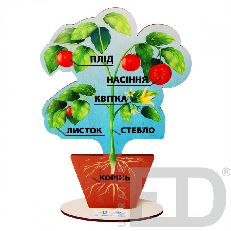 Модель будови рослин (на підставці)