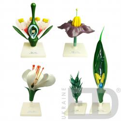 """Моделі """"Квітки представників різних родин"""" (яблуня, пшениця, картопля, горох)"""