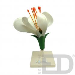 """Моделі """"Квітки представників різних родин"""" (яблуня, пшениця, картопля, горох) 1"""