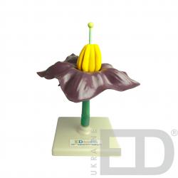 """Моделі """"Квітки представників різних родин"""" (яблуня, пшениця, картопля, горох) 2"""