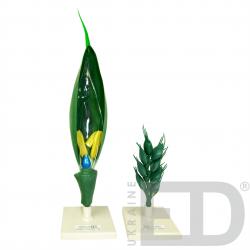 """Моделі """"Квітки представників різних родин"""" (яблуня, пшениця, картопля, горох) 3"""