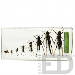 """Колекція """"Розвиток комах з..."""