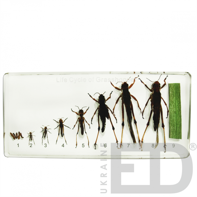 """Колекція """"Розвиток комах з неповним перетворенням""""  (Сарана) (в прозорому пластику)"""