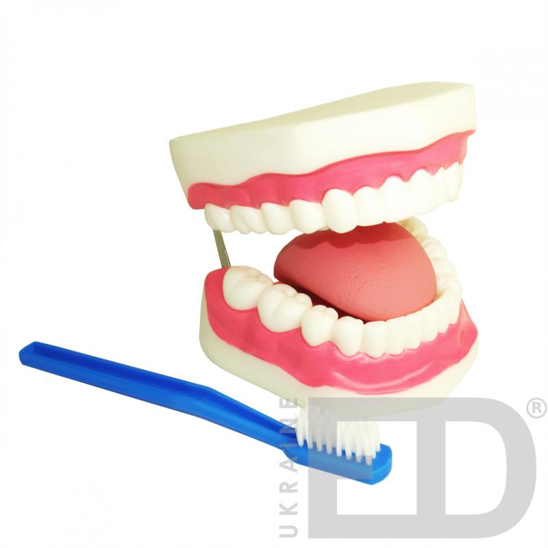 Модель догляду за зубами (збільшення в 5 разів)