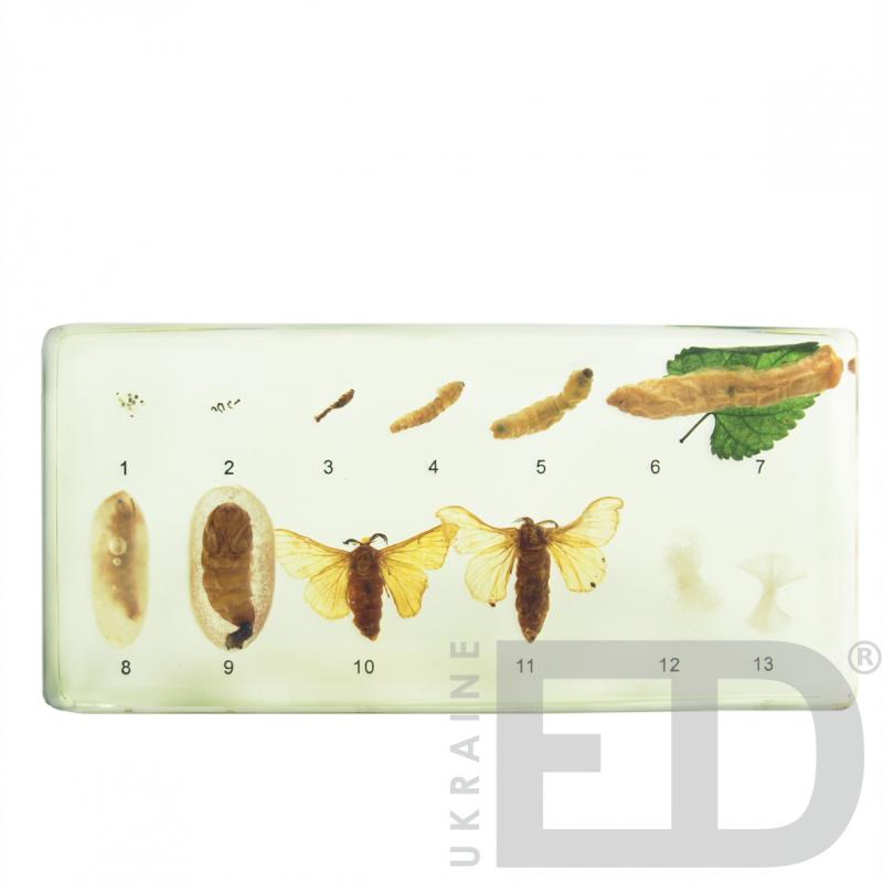 """Колекція """"Розвиток комах з повним перетворенням"""" (Шовкопряд) (в прозорому пластику)"""
