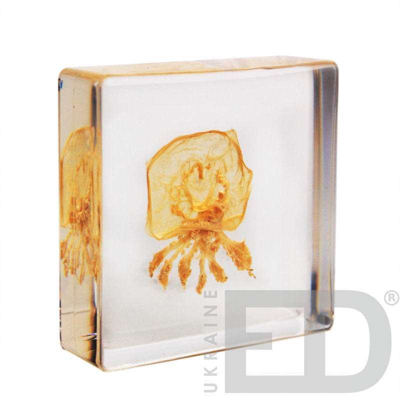 Медуза (зовнішня будова, в прозорому пластику)