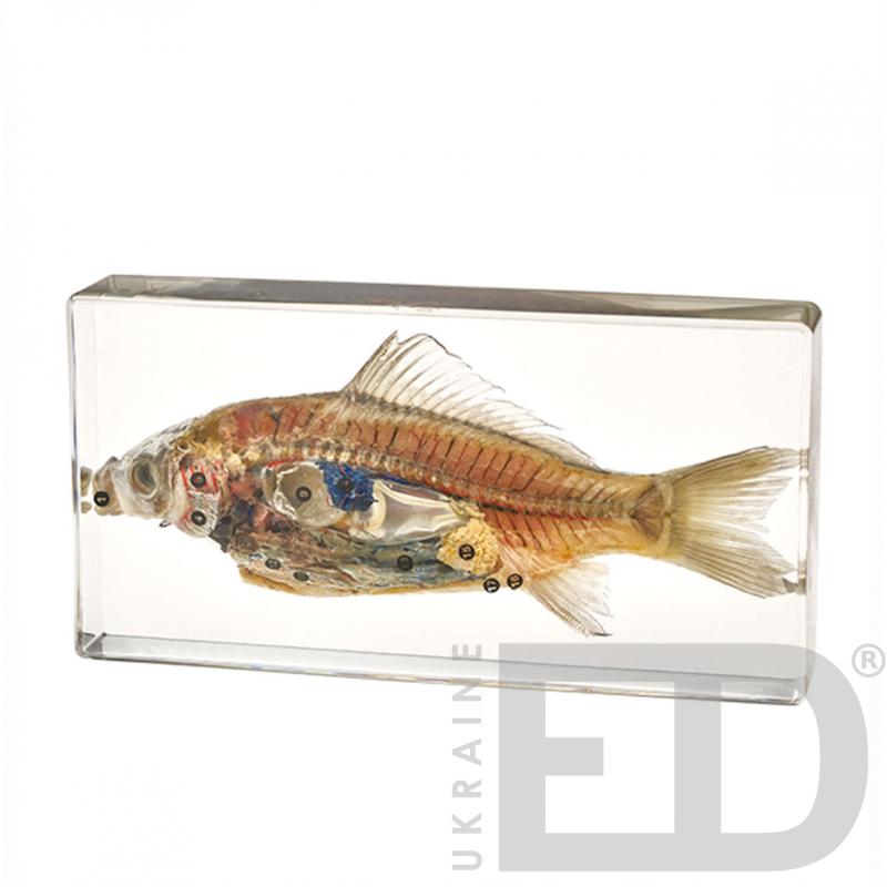 Риба (зовнішня та внутрішня будова, в прозорому пластику)