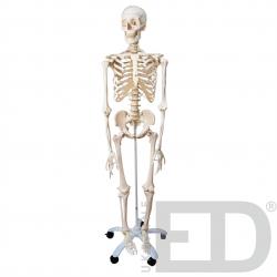 Скелет людини 170см на...