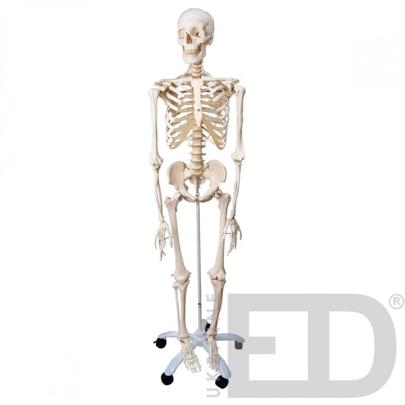 Скелет людини 170см на п'яти роликовій підставці