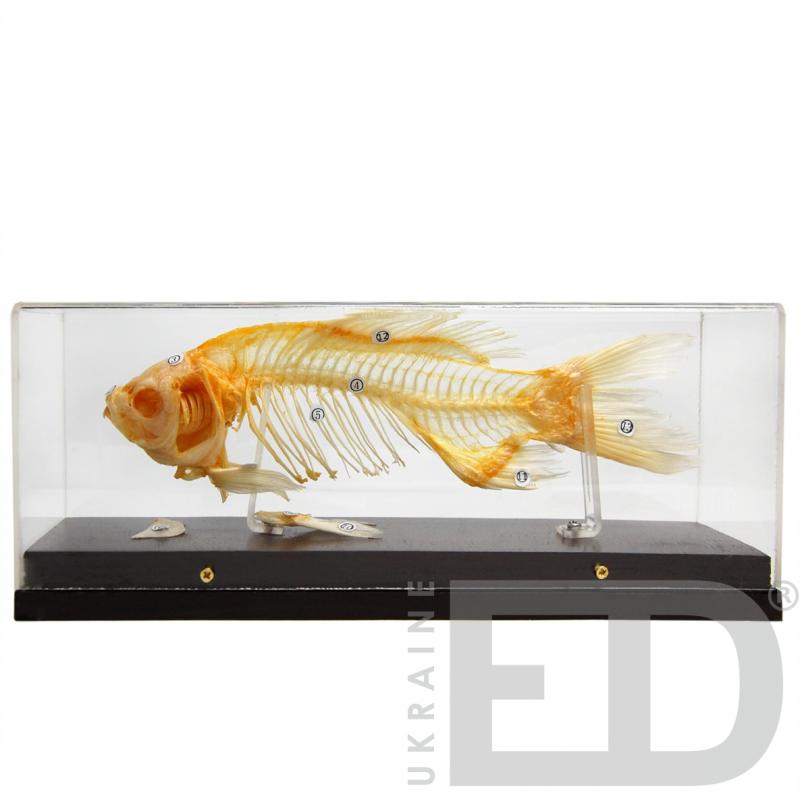 Скелети хордових. Скелет риби (натуральний)