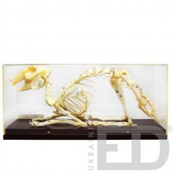 Скелети хордових. Скелет...