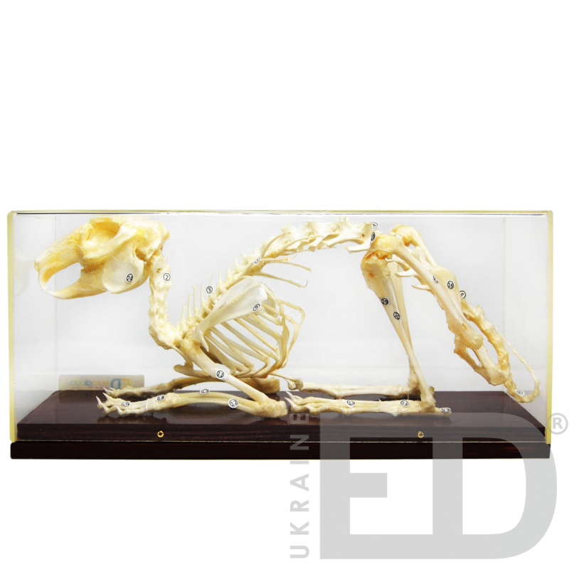 Скелети хордових. Скелет кроля (натуральний)