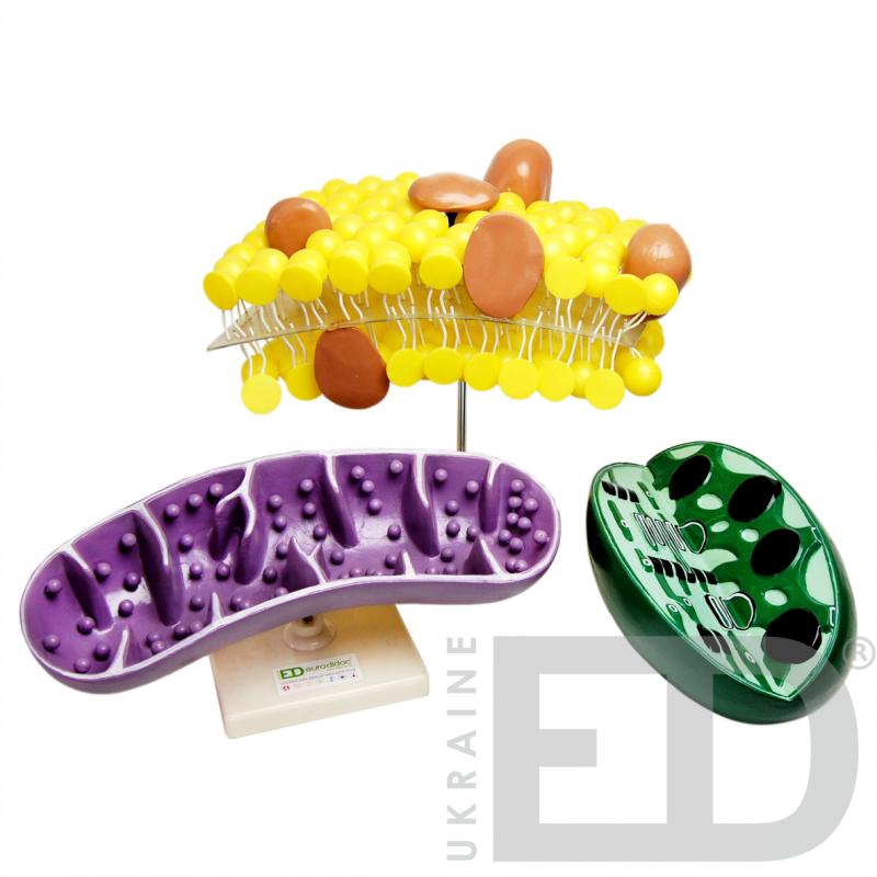 """Модель """"Органоїди клітини"""" (набір)"""