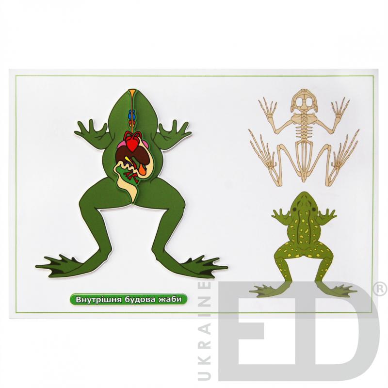"""Барельєфна модель """"Внутрішня будова жаби"""""""