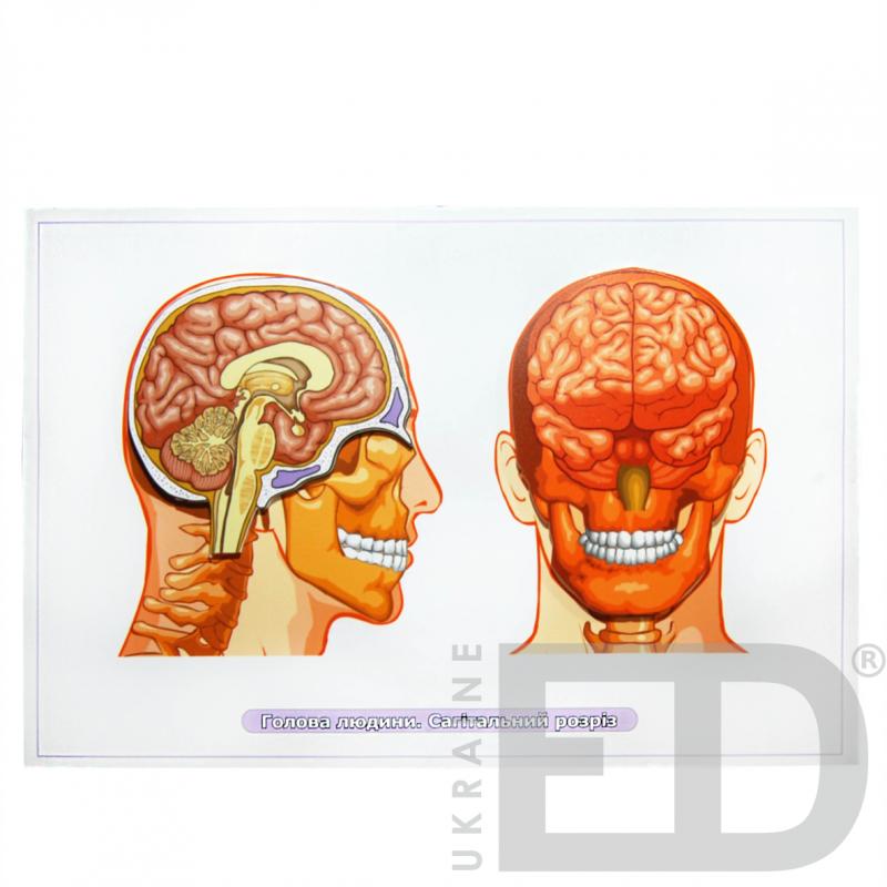 """Барельєфна модель """"Голова людини. Сагітальний розріз"""""""