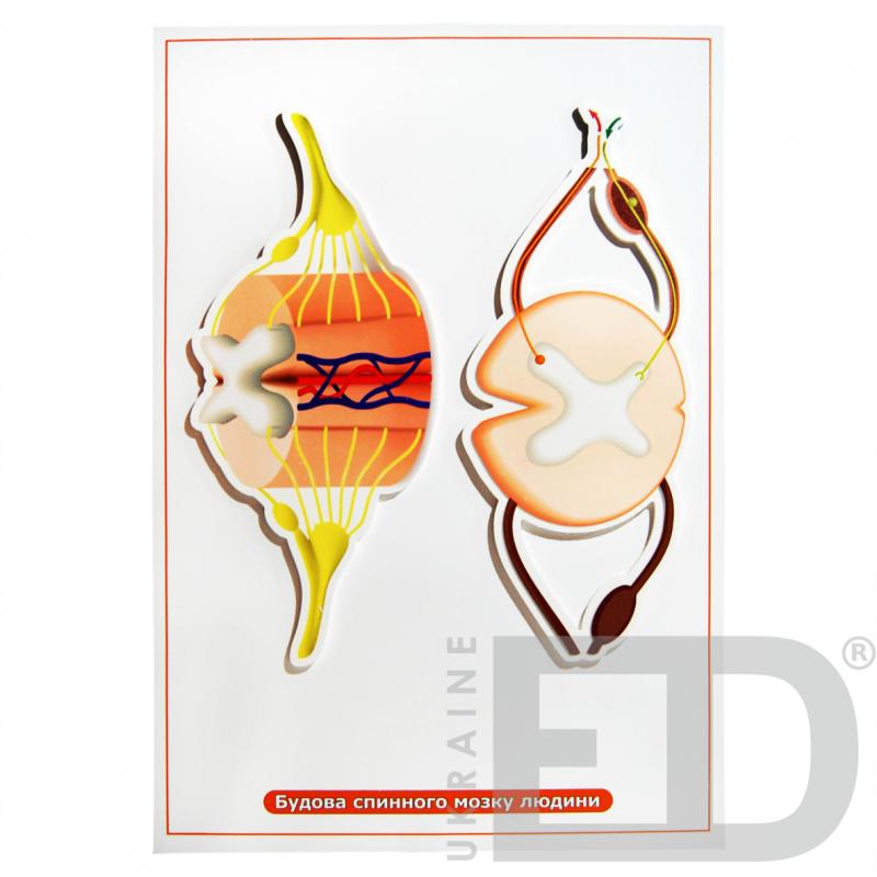 """Барельєфна модель """"Будова спинного мозку людини"""""""