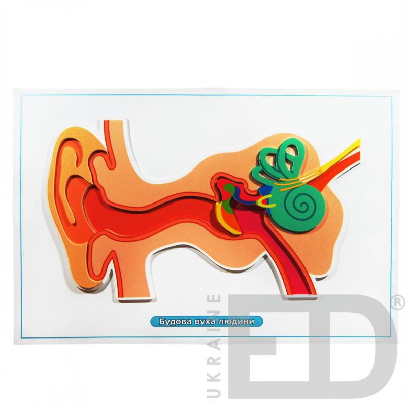"""Барельєфна модель """"Будова вуха людини"""""""