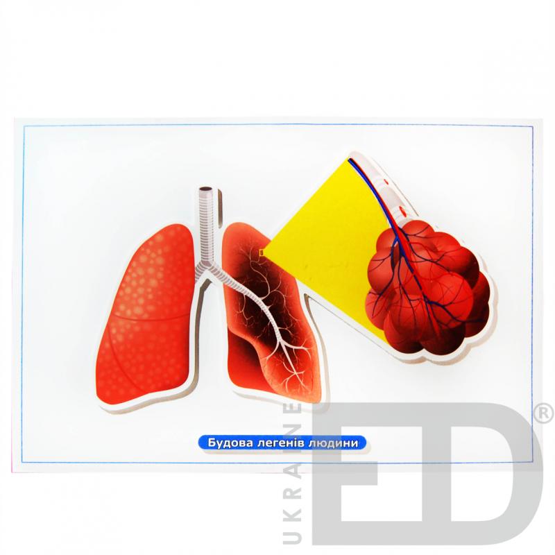 """Барельєфна модель """"Будова легенів людини"""""""