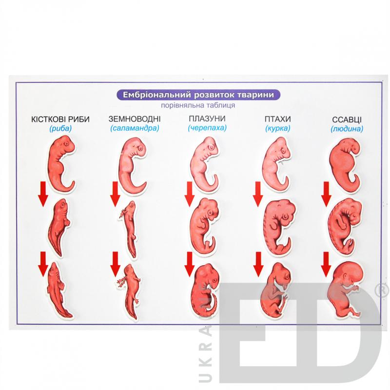 """Барельєфна модель """"Ембріональний розвиток тварини"""""""