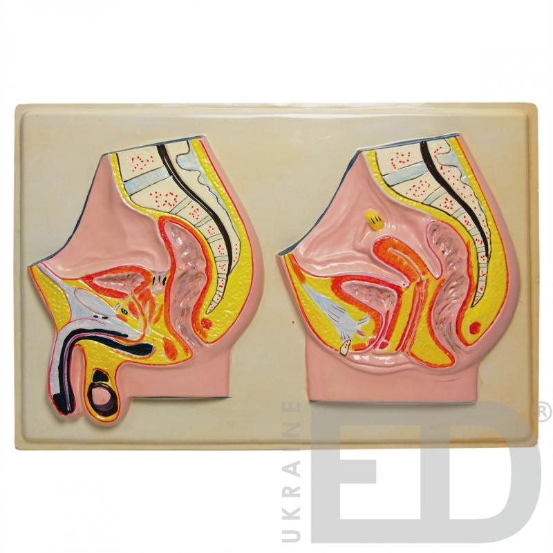 """Барельєфна модель """"Чоловічі та жіночі статеві органи. Сагітальний розріз"""""""
