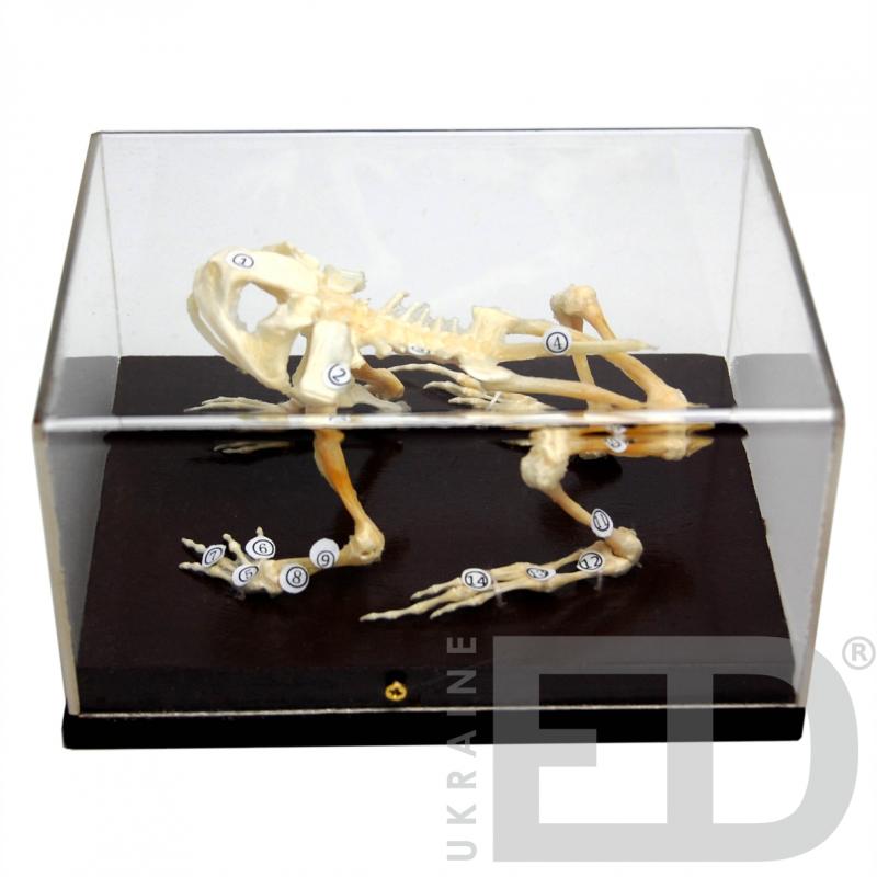 Скелети хордових. Скелет жаби (натуральний)