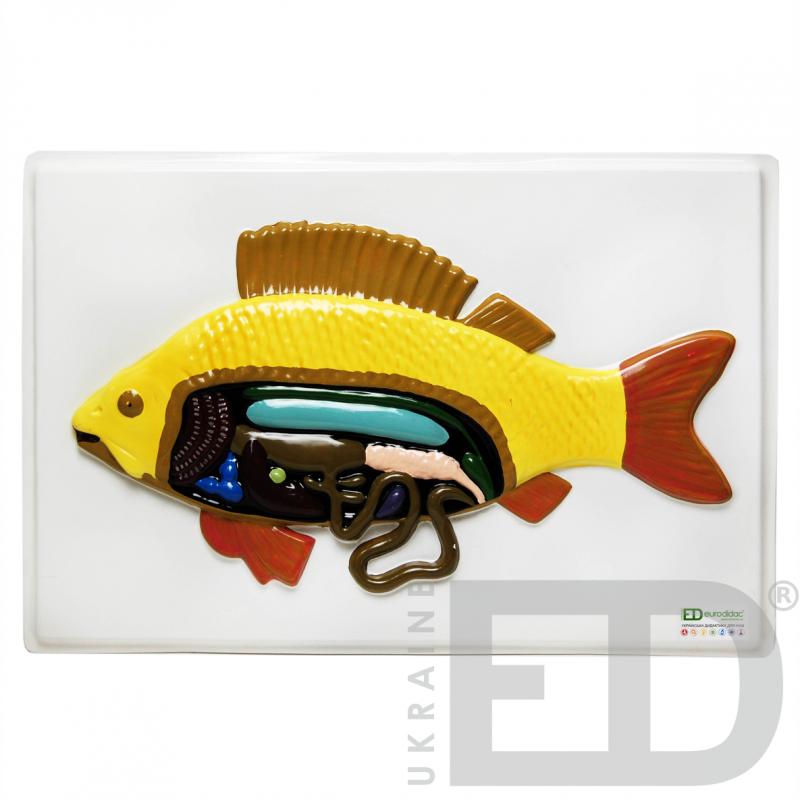 """Барельєфна модель """"Внутрішня будова риби"""""""