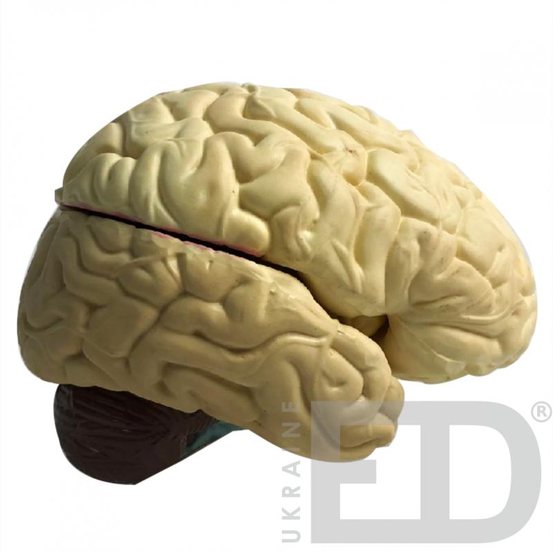 """Модель """"Головний мозок людини"""""""